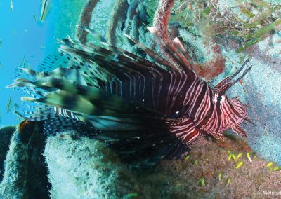 Poisson Lion, Pterois volitans/