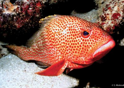 Rock Grouper, Epinephelus adscensionis