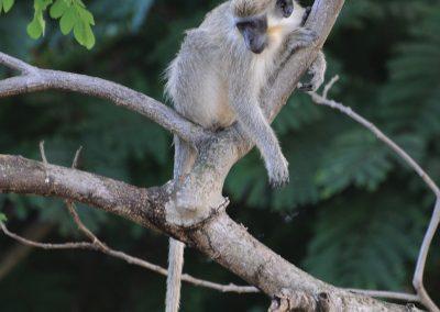 Vervet monkey, Cercopithecus aethios