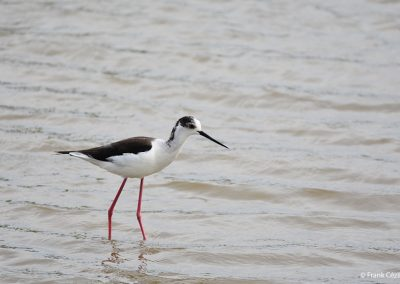 Common Stilt, Himantopus himantopus